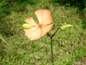 那須・ホテル庭に咲く花
