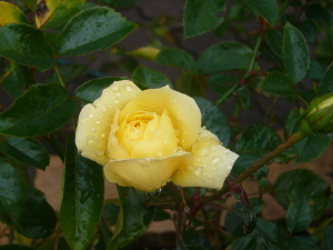 那須・朝露にぬれる薔薇(林の散歩道)