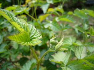 フランボワーズの花のつぼみ