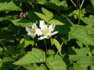 庭のフランボワーズ(木苺)の花